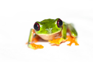 Penny Frog